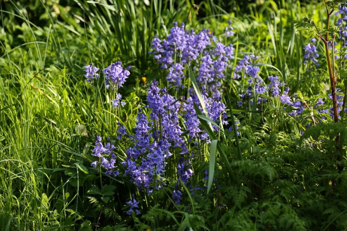 Close up of multiple bluebells