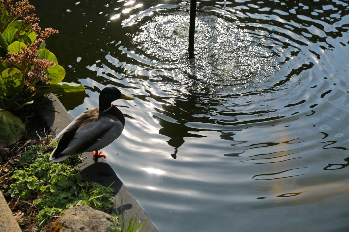 Sun hits the water as koi carp swim, and a duck waits on the side of the pond