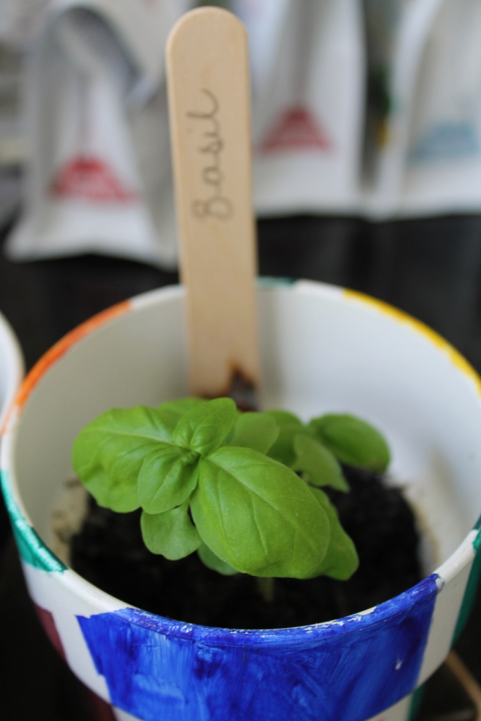 Basil growing in a multicoloured pot, with a brown stick with 'Basil' written on it