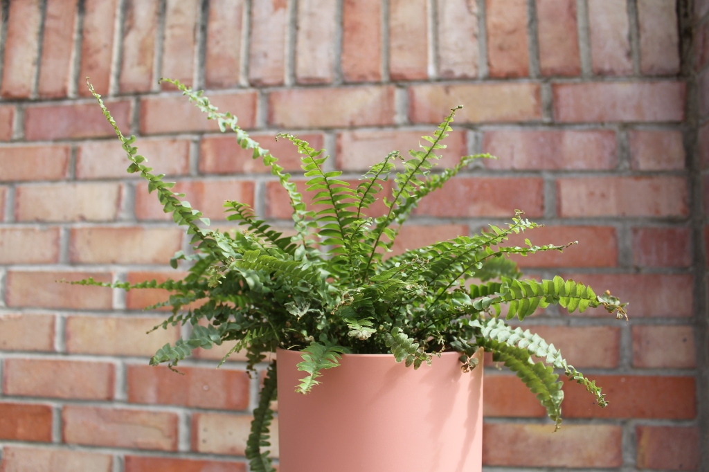 Boston Fern plant in a terracotta coloured pot, against a red brick wall