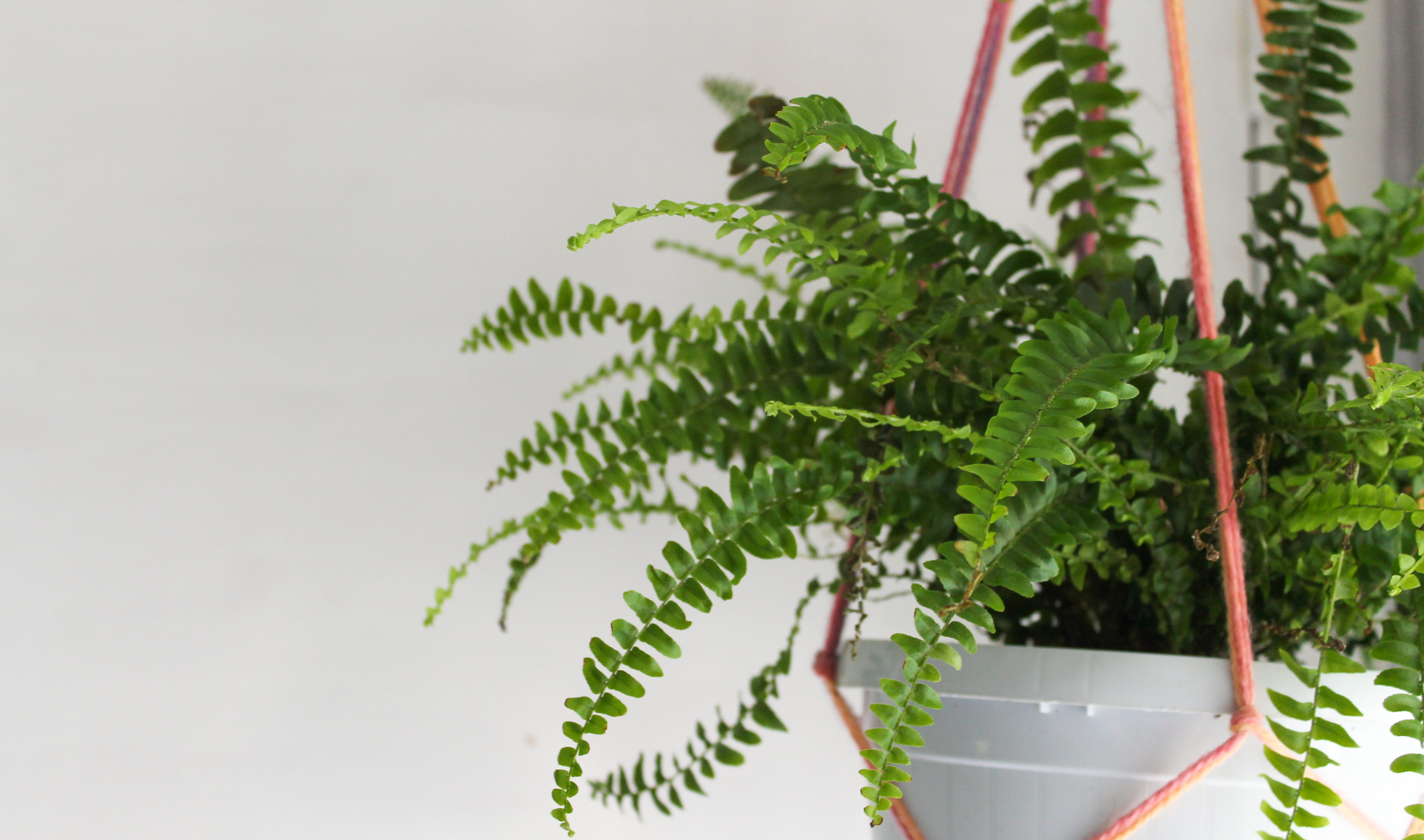 A green Bosten Fern plant, hanging in a pink macrame hanger. The pot is white, as is the wall behind it.