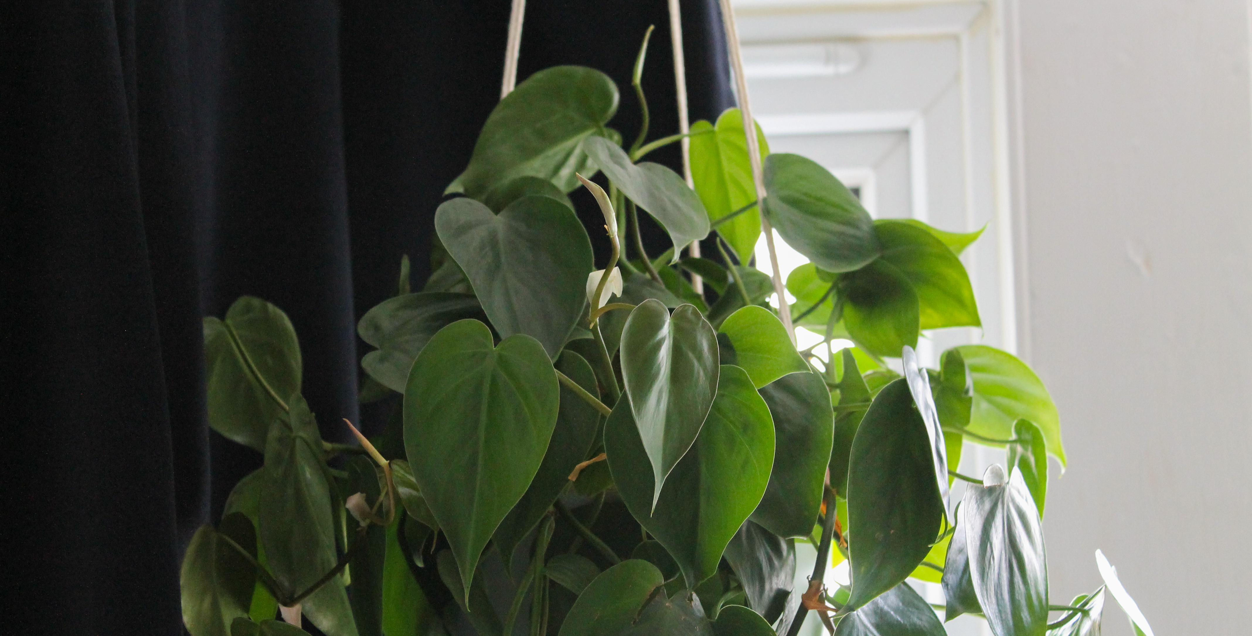 A green heart-leaf philodendron behind held by three strings. The background is half navy curtain, half white wall